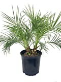 Phoenix Robellini Pygmy Date Palm - Live Plant in a 10 Inch Growers Pot - Phoenix Roebelenii - Beautiful Clean Air Indoor Outdoor Houseplant