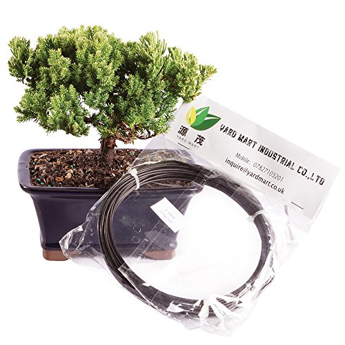 Brussel's Live Green Mound Juniper Outdoor Bonsai Tree with Aluminum Wire - 4 Years Old; 6' to 10' Tall with Decorative Container - Not Sold in California