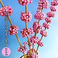ムラサキシキブ 【ピンク実】 3.5号ポット苗 【ハナヒロバリュー】