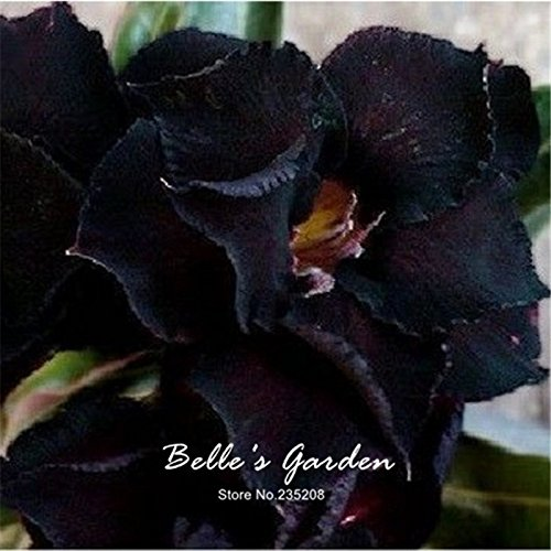 1pcs Rare Extotic Noir Désert Rose Graines Adenium obesum Graines d'origine Graines jardin Graines de fleurs en pot plantes rares bricolage
