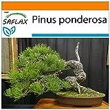 SAFLAX - Garden in the Bag - Pino amarillo occidental - 20 semillas - Con sustrato de cultivo en un sacchetto rigido fácil de manejar. - Pinus ponderosa
