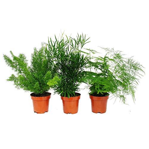 Zierspargel - 3er Set - 3 verschiedene Asparagus Pflanzen