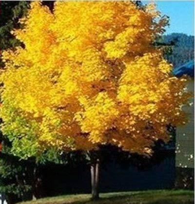 20Seeds árbol de arce de color amarillo vivo de semillas semillas de árboles de jardín de Noruega de arce de oro buen precio bonsai pronto
