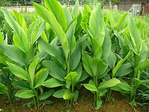 GETSO Samen-Paket Nicht Pflanzen: 4 Kurkuma Rhizome, Curcuma Longa Rhizome für den Anbau