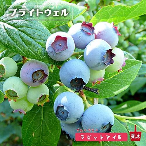 ブルーベリー 苗 ブライトウェル ラビットアイ系2年生苗 blueberry