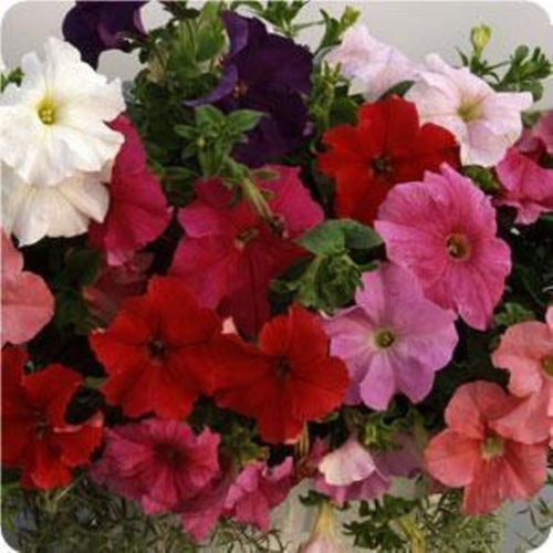 Supercascade série F1 Petunia 30 graines 10 belles couleurs Trailing dans des paniers