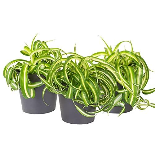 Pflanzen Kölle Grünlilie 'Bonnie' mit...