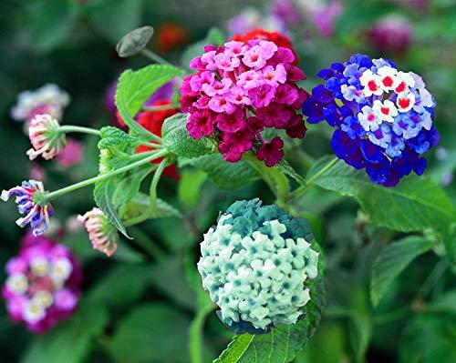 Liliya's Lantana Mix - 50+ Flower Seeds to Plant - Made in USA, Ships from Iowa....