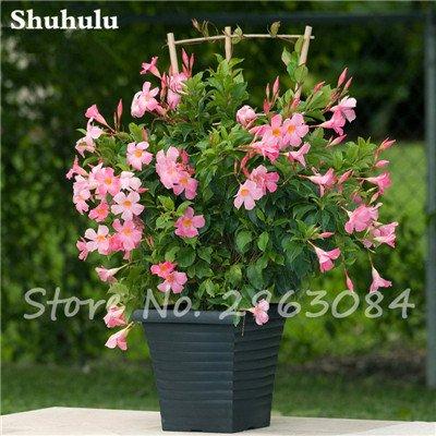 50 PC / bolso raras semillas dipladenia sanderi trepadora perenne Mandevilla Sanderi flor ornamental al aire libre Jardín de Bonsai Plant 19