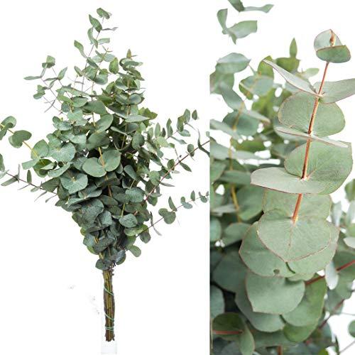 Blumigo Eukalyptus - Frische Zweige - 50 cm - Schnittblumen Stiele für die Vase - Echte Stiele - Eukalyptusblätter zur Deko oder Hochzeit - Greenery - Natur