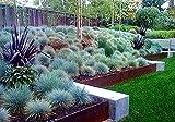 Blue Fescue Grass Seeds - 100 Seeds - Festuca glauca - Exotic Blue Grass