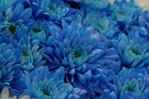 Hot Sale Rare Graines Bleu Blanc chrysanthème Chrysanthemum morifolium Graines Fleur Plante en pot pour le bricolage jardin 100PCS