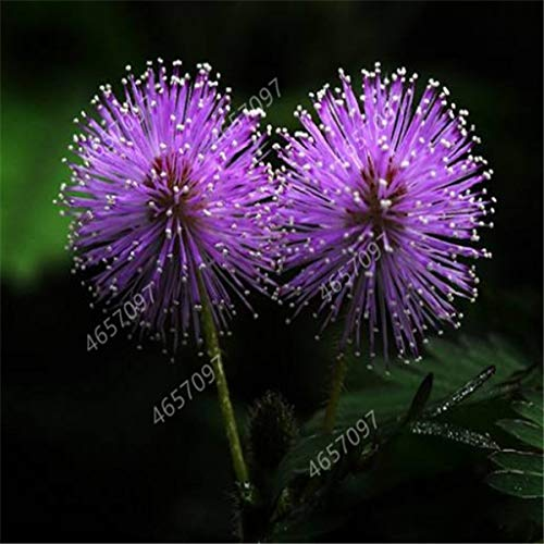 100pcs Mimosa Bonsai Plants Perennail Indoor Flowering Potted Plant Rare Mimosa Pudica Flower For Home Garden Shy Grass Plants : 6