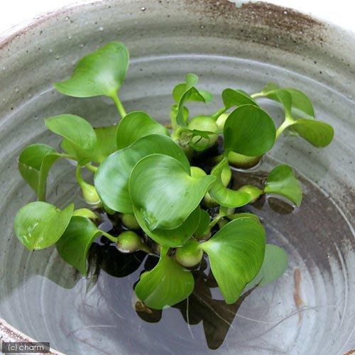 (ビオトープ)水辺植物 ホテイ草 国産(ホテイアオイ)(5株) 金魚 メダカ 北海道航空便要保温