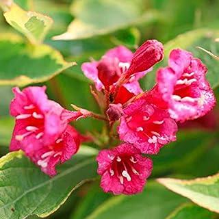 Elwyn 60pcs Weigela Florida Flower Seeds