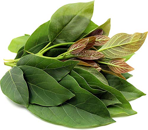 PLAT FIRM KEIM SEEDS: 10: FRESH Avocado Blätter 100% Bio-Tee-Blatt von den sonnigen Süd-Florida