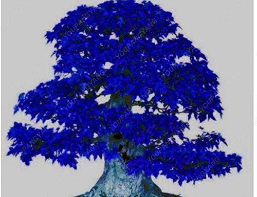 50 pcs/sac japonais Graines de Maple Maple Leafs de Toronto arbre Graines vivaces plantes ornementales Feu d'érable Bonsaï Jardin Plante jaune
