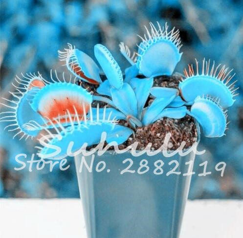 10 pièces bleu exotique insectivores Graine de plantes Succulentes Dionaea Bonsai Seed Venus Fly Trap Plantes Carnivores Easy Grow 2