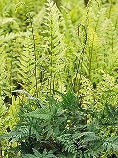 Perennial Farm Marketplace Polystichum tsus-simense ((Korean Rock) Hardy Fern, Size-#1 Container, Blue-Green Leaves