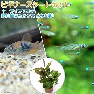 (熱帯魚)(水草)ビギナースタートセット アフリカンランプアイ(10匹)+コリドラス・ベネズエラオレンジ(2匹)