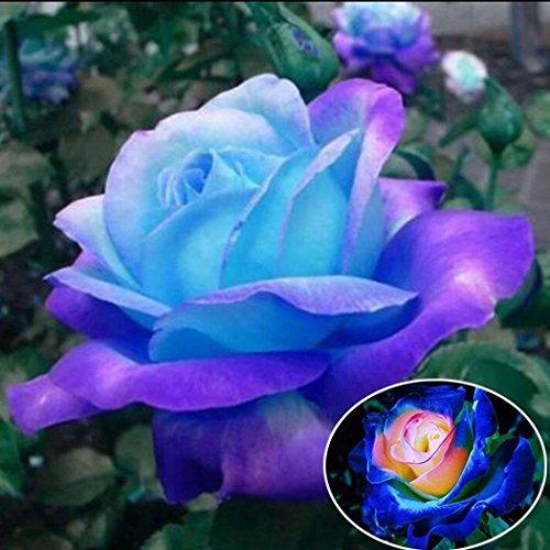 Ultrey Samenshop - Blaue Rose Samen Blumensamen
