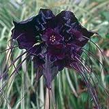 5 Black Bat Flower Tacca Chantrieri Cat's Whiskers Devil Flower Seeds