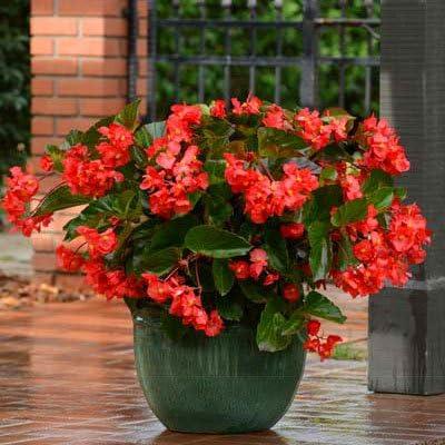 Begonia Megawatt Mesa Sale Special Price Mall Green Leaf Flower Red 100 Seed