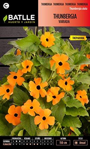 Semillas de Flores - Thunbergia variada - Batlle: Amazon.es: Jardín