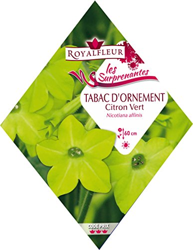 Royalfleur PFRK21160 Graines de Tabac Citron Vert Surprenant