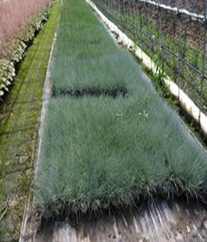 100 bleu fétuque Semences à gazon - (Festuca glauca) herbe ornementale plante vivace si facile à cultiver