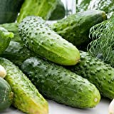 Boston Pickling Cucumber Seeds/Heirloom / 20 Seeds Annual