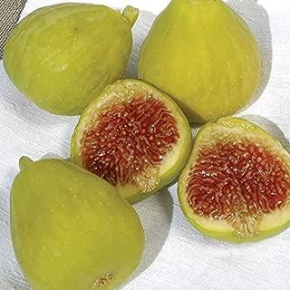 1 Fig Desert King - Fresh Live Plant