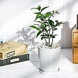 観葉植物 ナギ 4号鉢 受け皿付き 育て方説明書付き Nageia nagi 梛 神の宿る木 幸せを呼ぶ木 縁結びの木 夫婦円満の木