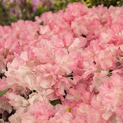 Rhododendron yak. Marlis Alpenrose...