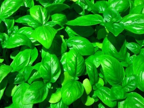 30 graines de basilic Genovese Seeds