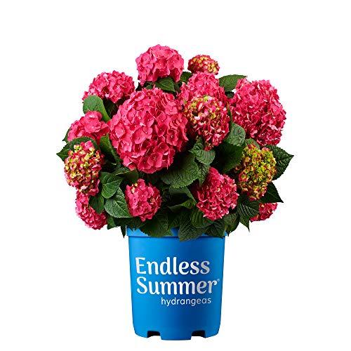 Endless Summer Summer Crush Hydrangea, 2 Gal, Raspberry Red and Neon Purple Blooms