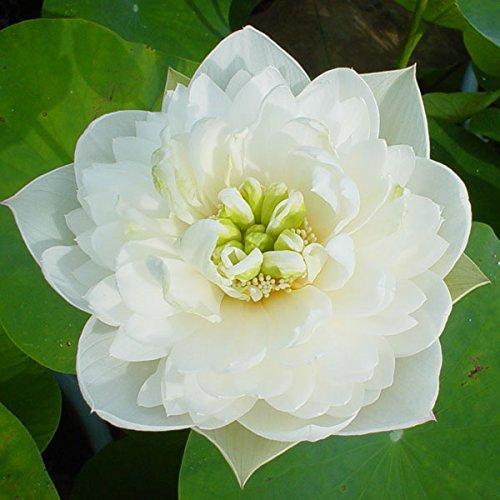 花はす[八重咲き系]:雪の精4.5号ポット[碗蓮・手乗りハス]