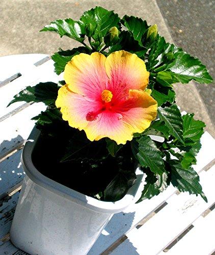 fleurs de jardin de bonsaïs. Alliant colorés graines d'hibiscus fleur -100PC / paquet. Les grandes plantes à fleurs