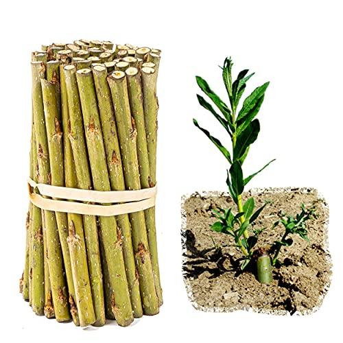 Weide für Weiden-Häuser und -Bauten sowie Energieholz im Energiewald, Kurzumtrieb/KUP, Salix viminalis-Züchtung