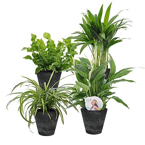 4er Set Luftreinigende Zimmerpflanzen  ...