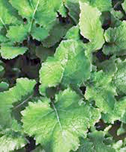 Turnip Seeds,Turnip, Seven Top, Heirloom, 50+ Seeds, Non GMO,vegatable