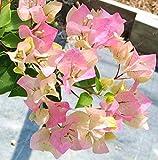 Bloom Green Co. Bougainvillea bonsai piante colorate bouganville Spectabilis Willd Pianta perenne Flower Garden Bonsai Pianta in vaso 100 pc/Bag: 8