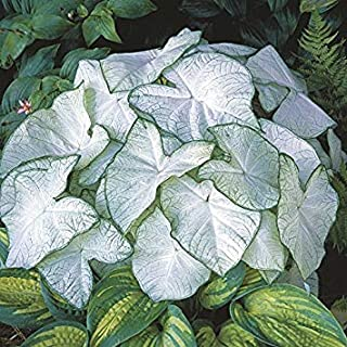 Cicitar Garden- 100pcs Multi-Colored Foliage Caladiums Sweetheart, Tropical Mix Large Showy Leaves Exotic Flower Seeds Hardy Perennial Garden Shady Spots