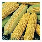 Desi Commodity Hybrid Maize Sweet Corn Quality Seeds (pack of 50 seeds) and 100gm Manure/Organic Fertiliser