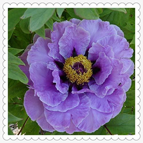 Peonías bulbo,Peonía rosa gran jardín de arbustos jardinería hermosas flores, que florecen en primavera, bonsai verde de regalo-20rizoma,1