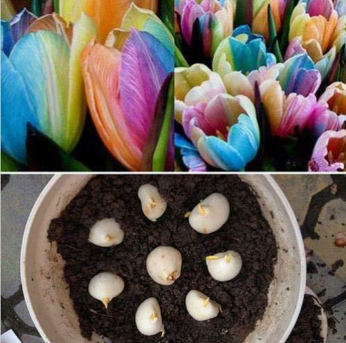 PLAT FIRM GRAINES DE Germination: 5pcs Welt seltene Regenbogen Tulpenzwiebeln Samen Die schönsten Blumenpflanzensamen