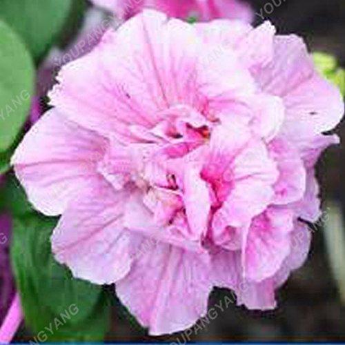 100pcs Petunia Seeds Four Seasons peut être planté 25 sortes de couleurs Pétunia Graines de fleurs Bonsai pour le bricolage jardin Plantation Plum