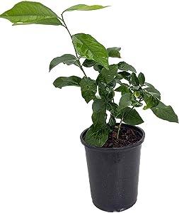 Eureka Lemon Bush Form - 6