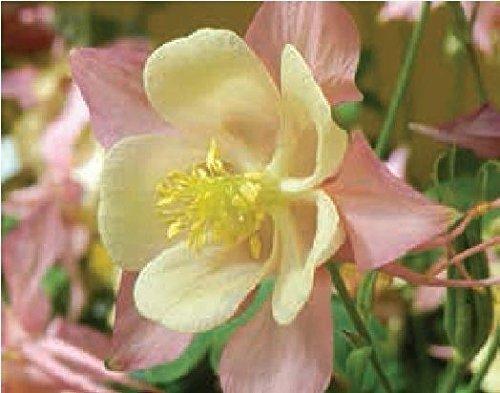 Il vous suffit de graines de fleurs – ancolie – Swan F1 – Rose et Jaune – 40 graines – Gros Lot