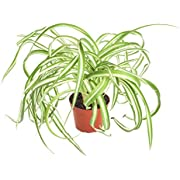 """Shop Succulents   'Bonnie' Curly Spider Plant, Naturally Air Purifying House Plant in 4"""" Pot, Easy Care, Live Indoor House Plant"""
